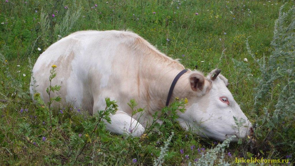 В полях мирно пасутся коровы.