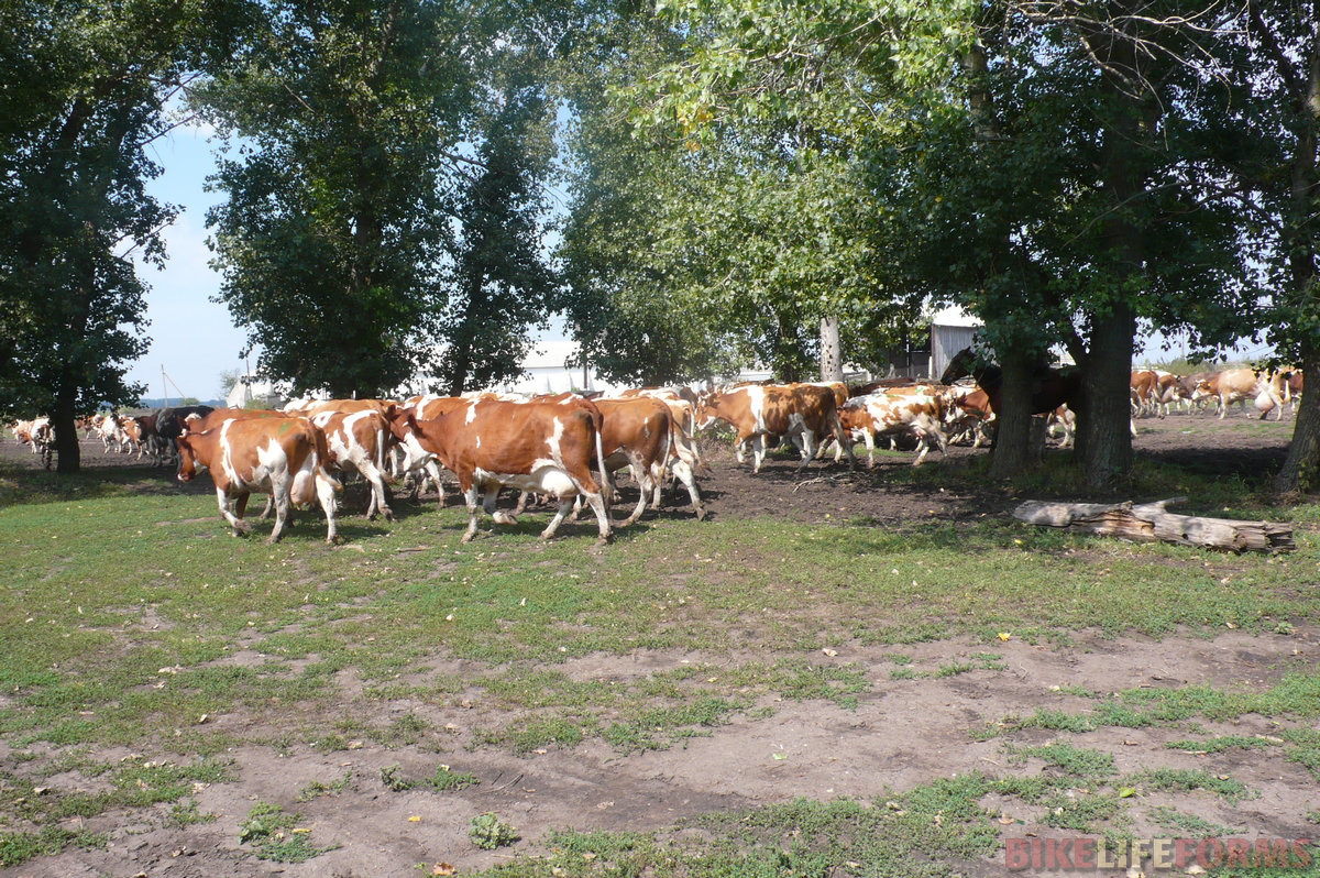 Прямо мимо магазина прошло стадо коров. А за ними, кинув гордый взгляд на наши велосипеды, проскакал на лошади пастух.
