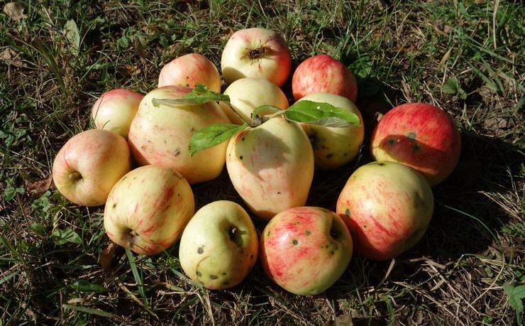 дикие яблочки брянщины