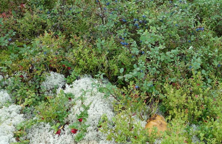 карельская черника-клюква