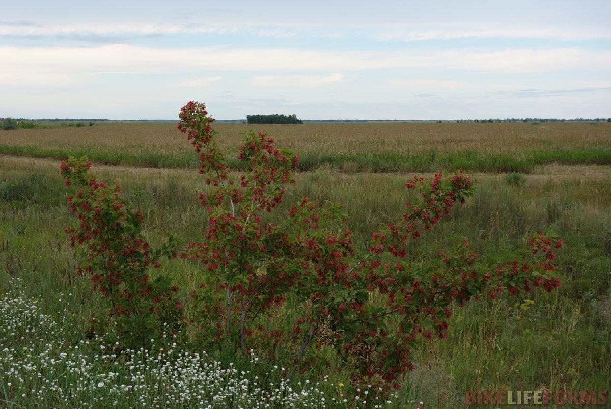 клён татарский (Acer tataricum) с красными плодами-крылатками. Как его занесло сюда - вопрос
