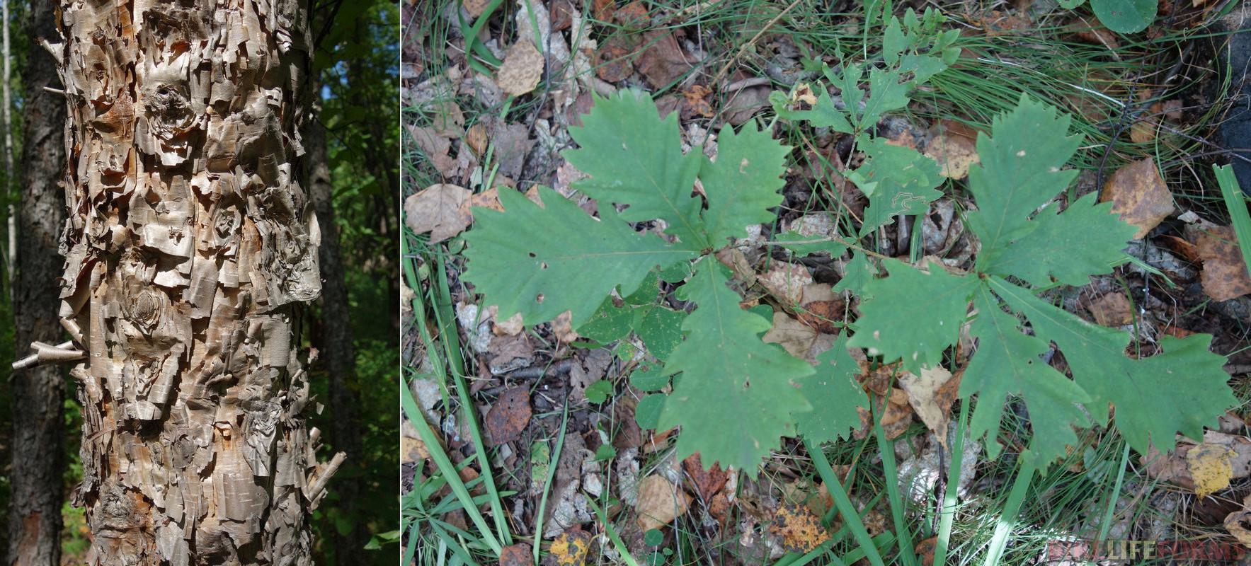 береза даурская (Betula dahurica) и дуб монгольский (Quercus mongolica), в Монголии не растет