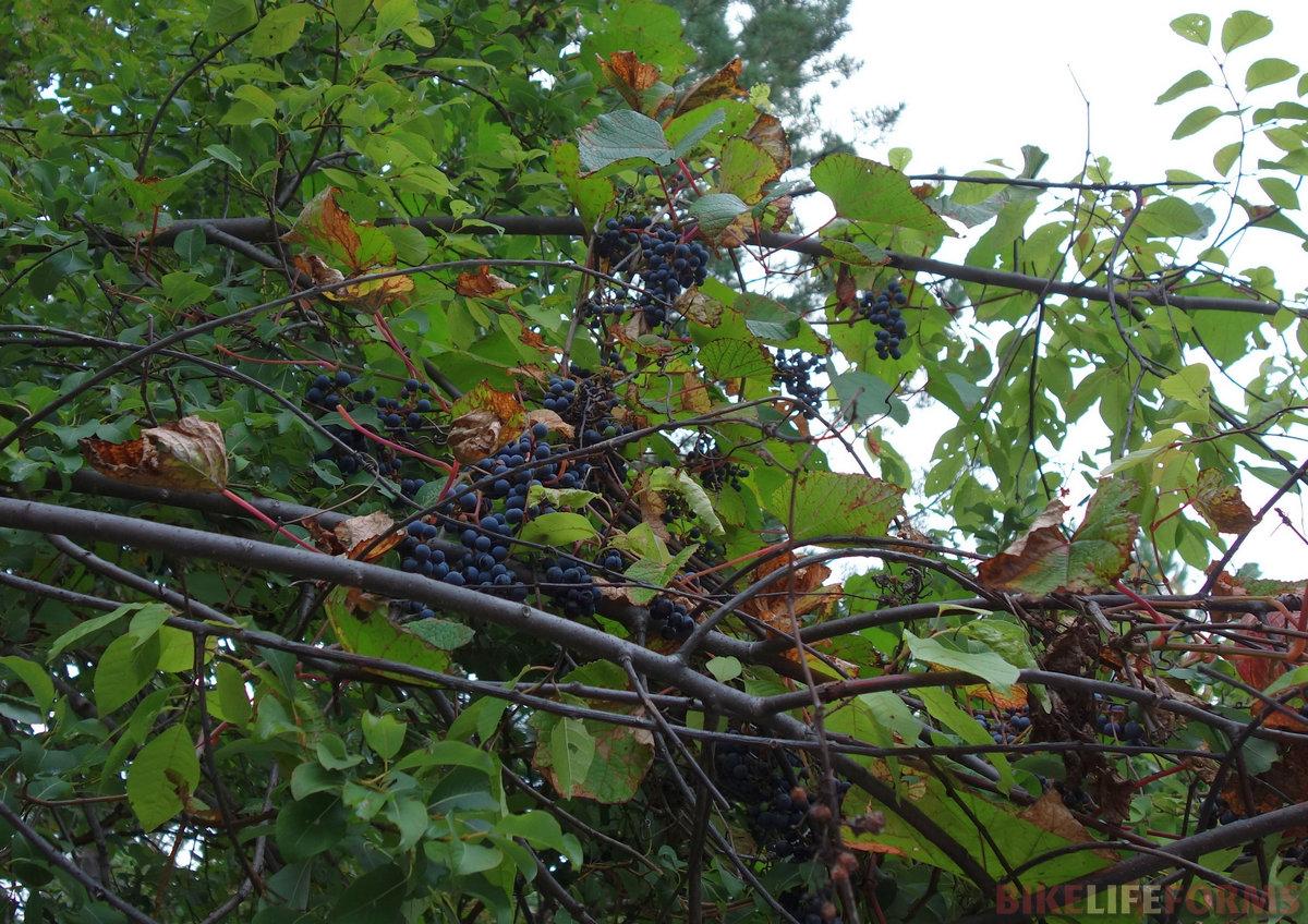 амурский виноград! (Vítis amurénsis). Не поспел до конца