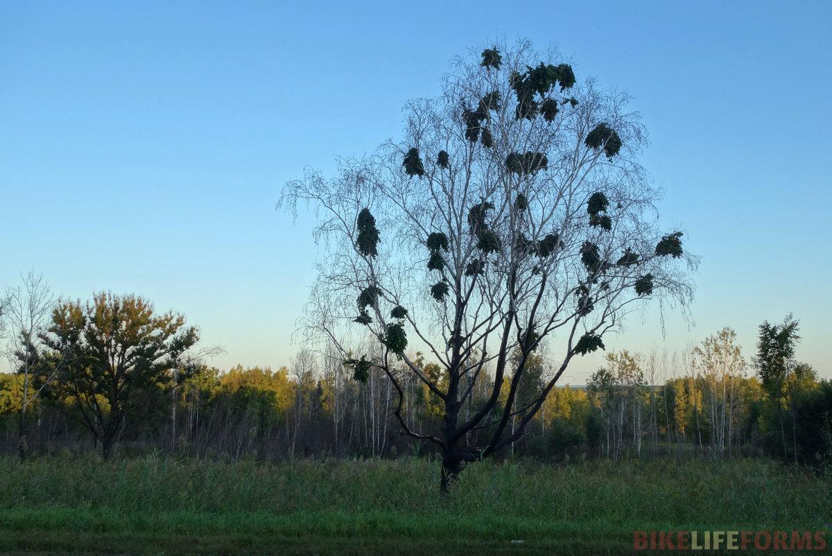 враги сожгли родные ветви... (эпифиты на мертвой березе) Выжигание травы - это преступление!
