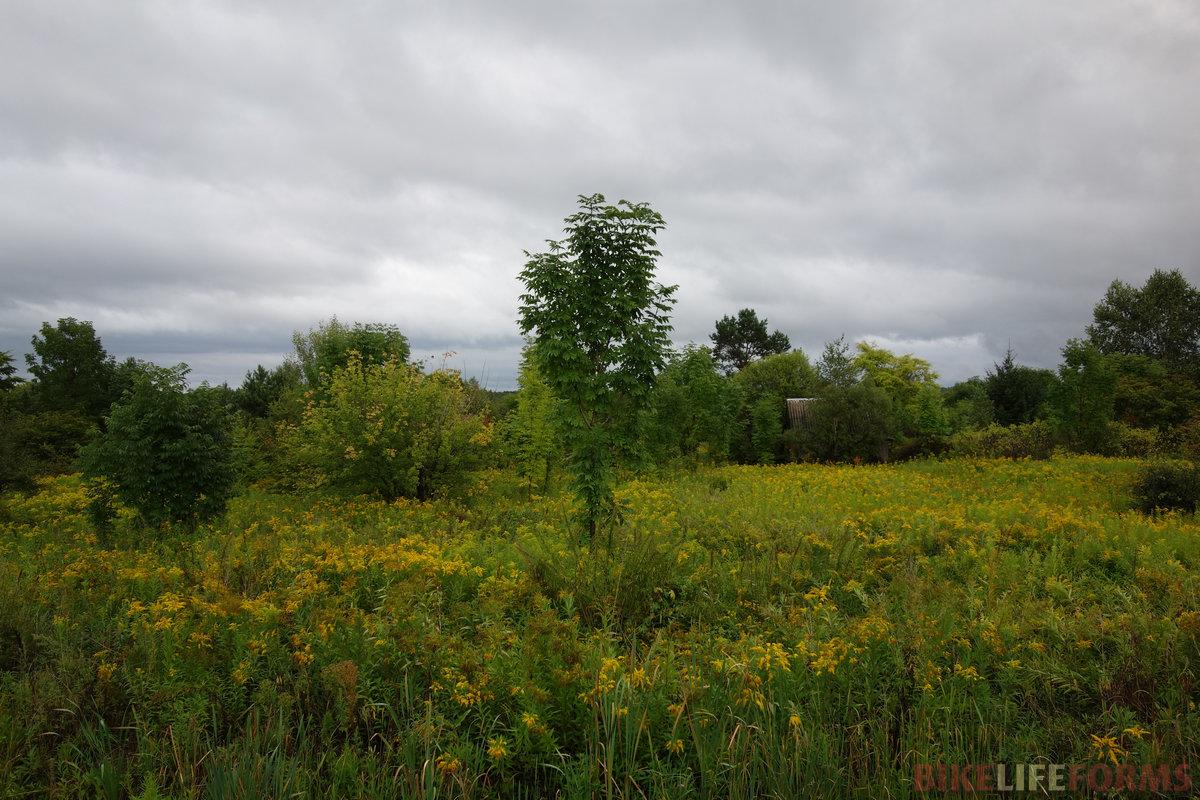 ясень маньчжурский (Fráxinus mandshurica) среди золотарника канадского (Solidágo canadénsis)