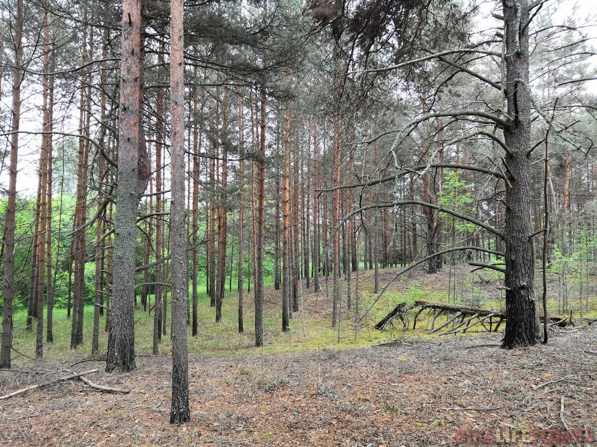 Аромат соснового леса.