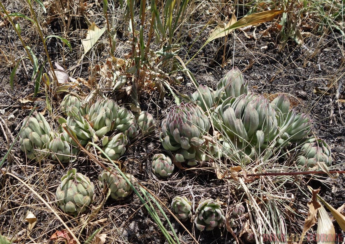 молодило русское (Sempervivum ruthenicum) в Красной книге Калужской области