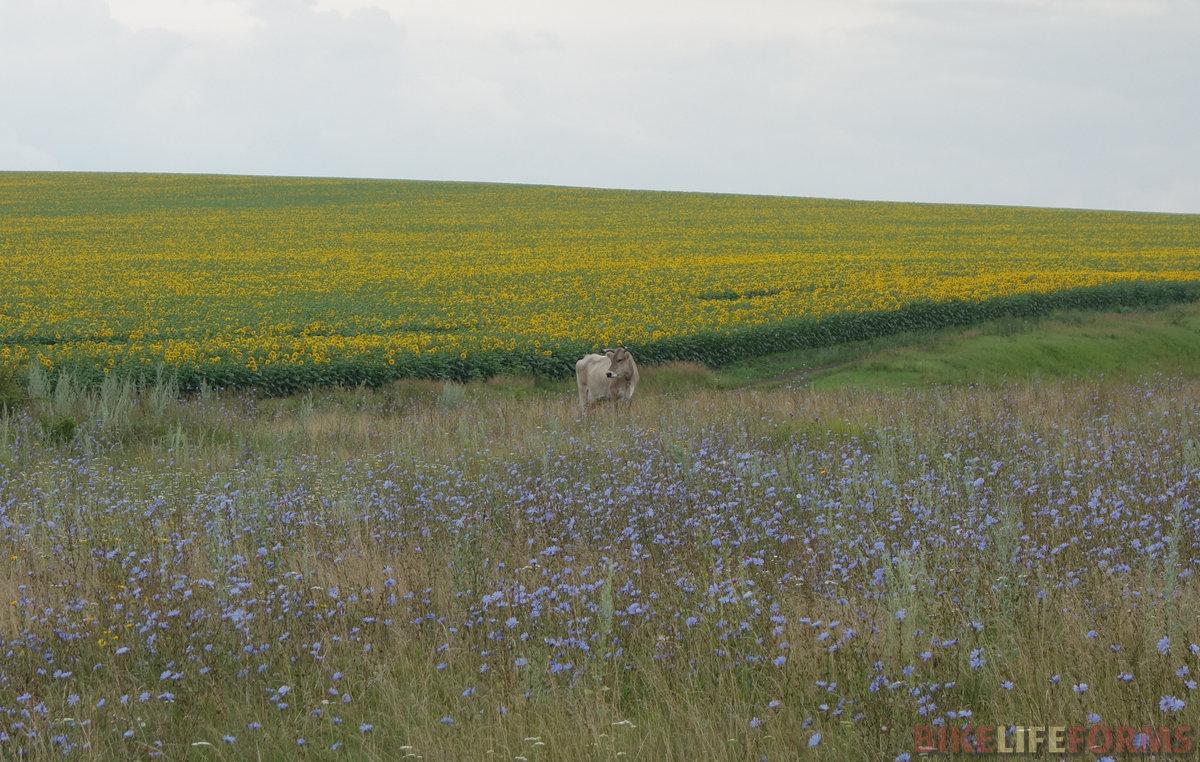 подсолнечник, корова, цикорий. Милое спокойствие сельской простоты