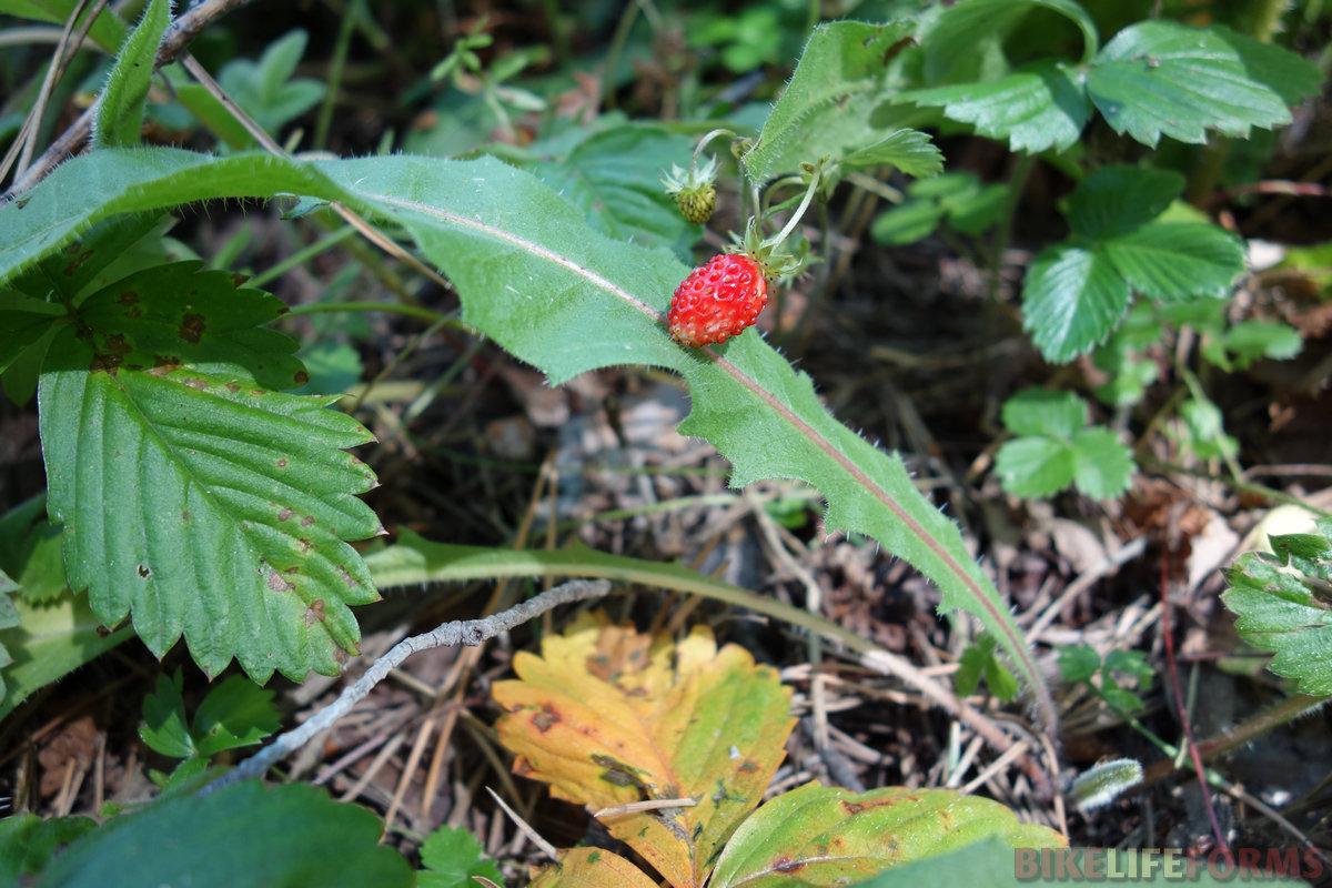земляника! причем лесная! в конце июля! на этой широте! Три ягодки всего нашел. Сторона не солнечная, поэтому еще растет