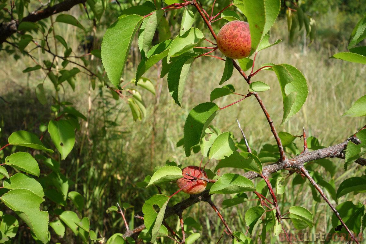 абрикосы среди полузаброшенных дач! доселе мне ни разу не доводилось видеть плоды на ветках. Кисловатые, жесткие, но все же съедобные