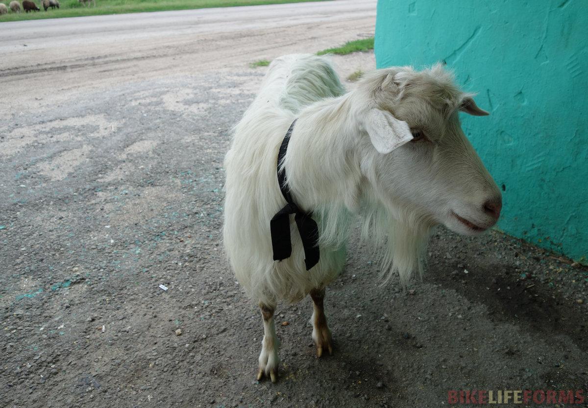 любопытная коза-дереза