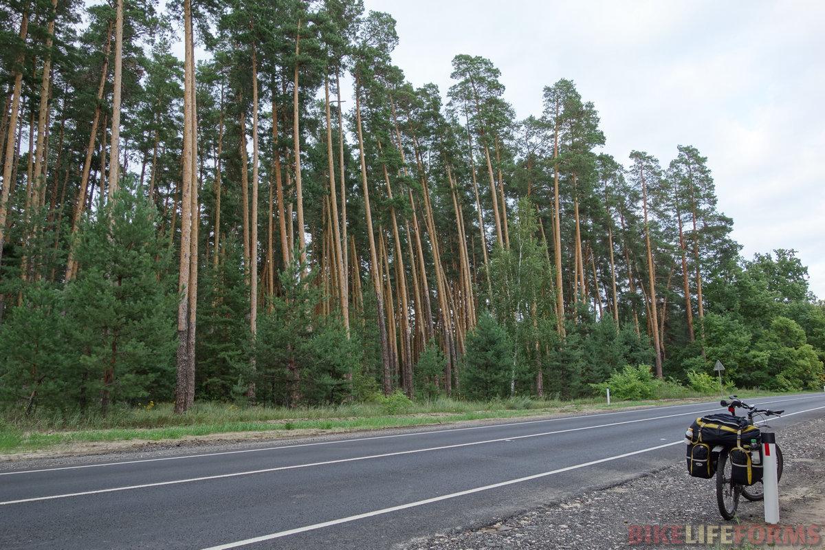 """Цнинский лесной массив, """"зеленый клин"""" среди полей. Снова """"корабельные"""" сосны!"""