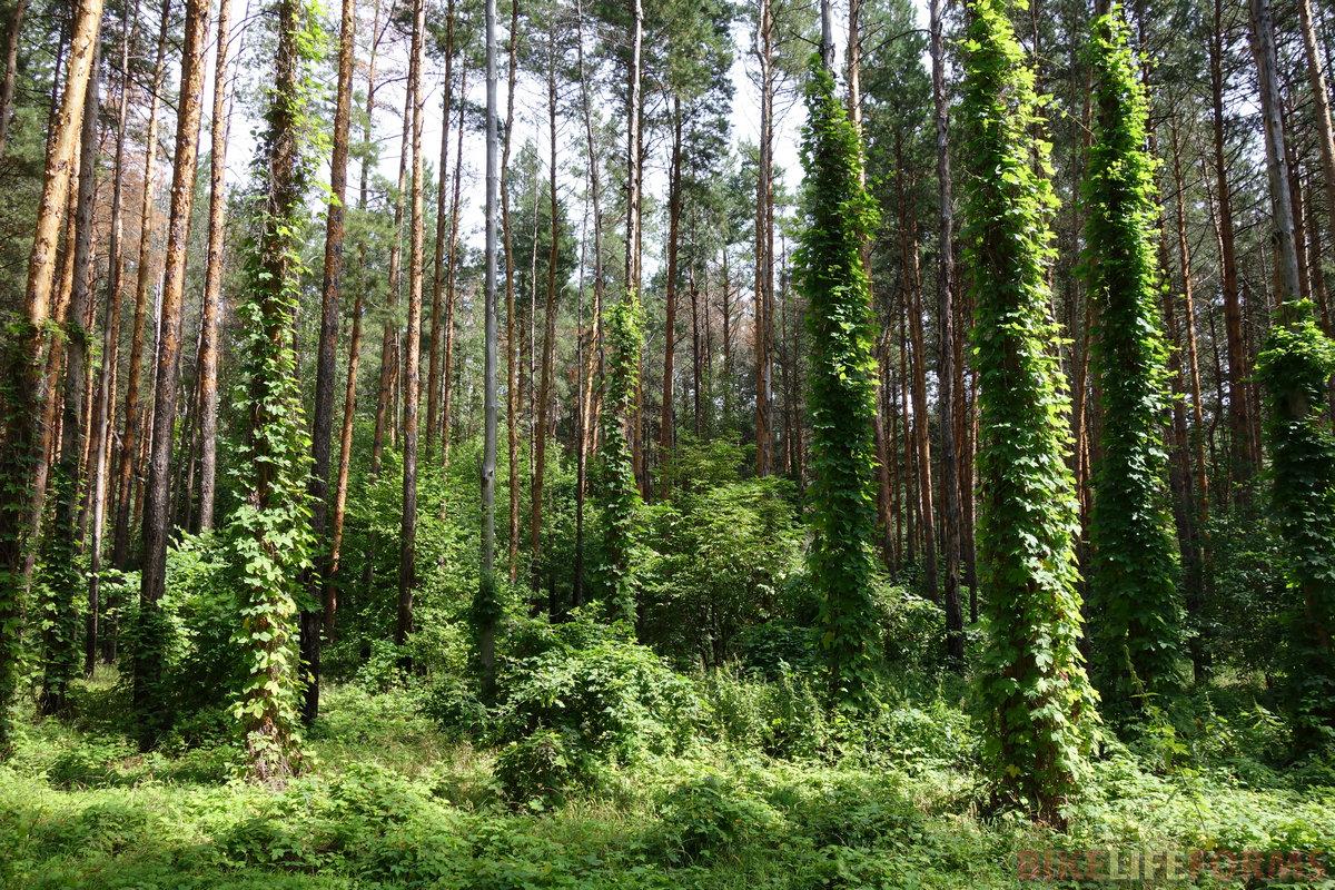 сказочный лес! захмелевшие сосны