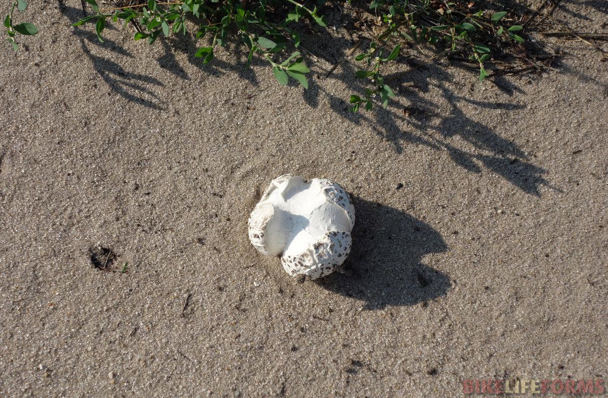 шампиньон сквозь песок
