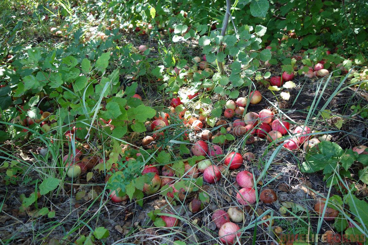 ну, а эти яблоки я приметил еще с вечера. Набрал несколько кг. И это лишь начало яблочного беспредела!