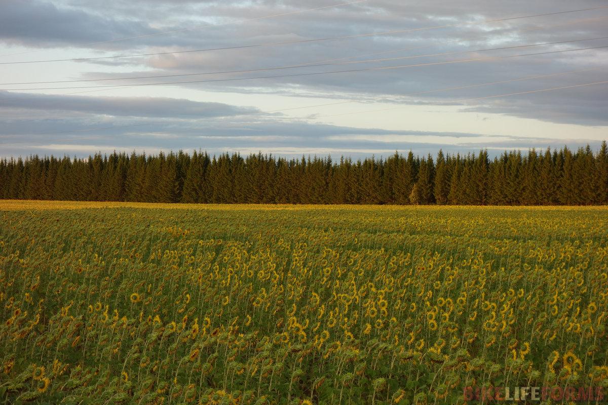 еловая лесополоса и поле подсолнечника... редкое сочетание!