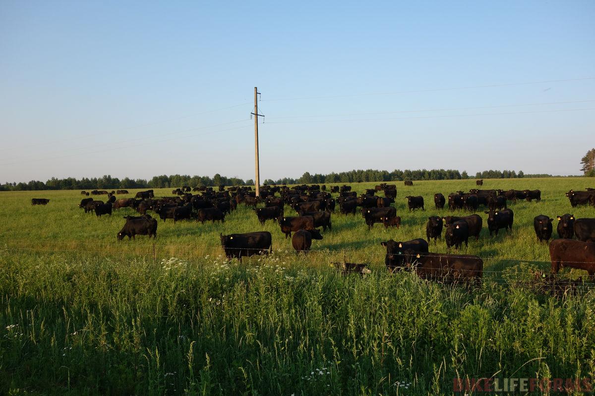 коровы Мираторга