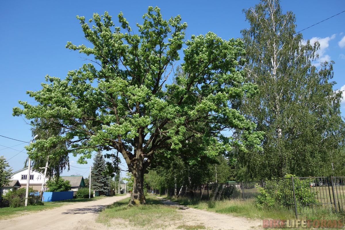 ветвистый дуб в Клетне