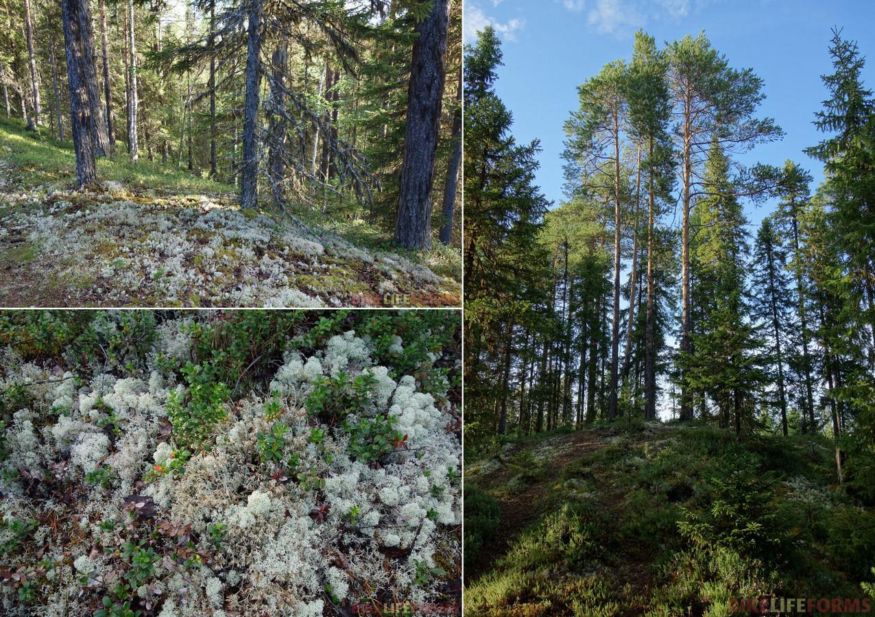 красоты северного леса