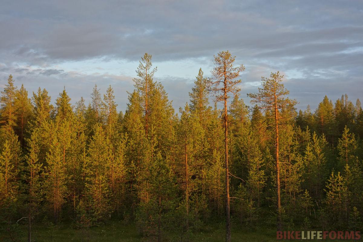 сосновый закат