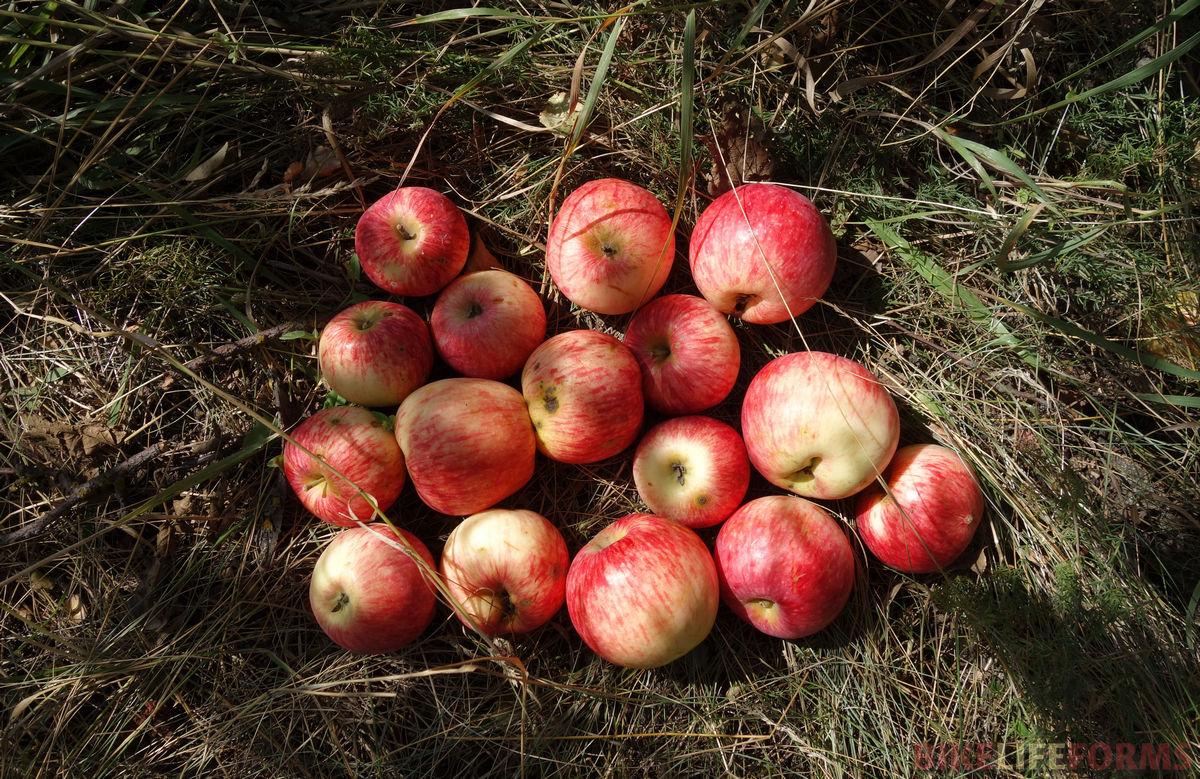 яблоки Курской области
